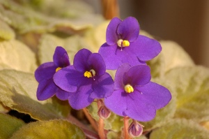 African Violet, photo by e_cathedra on Flickr.