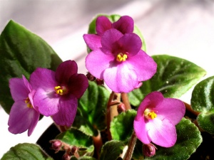 African Violet, photo by dog.happy.art on Flickr, shared under a Creative Commons attribution-noncommercial license.