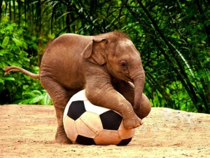 A baby elephant with a huge soccer ball.