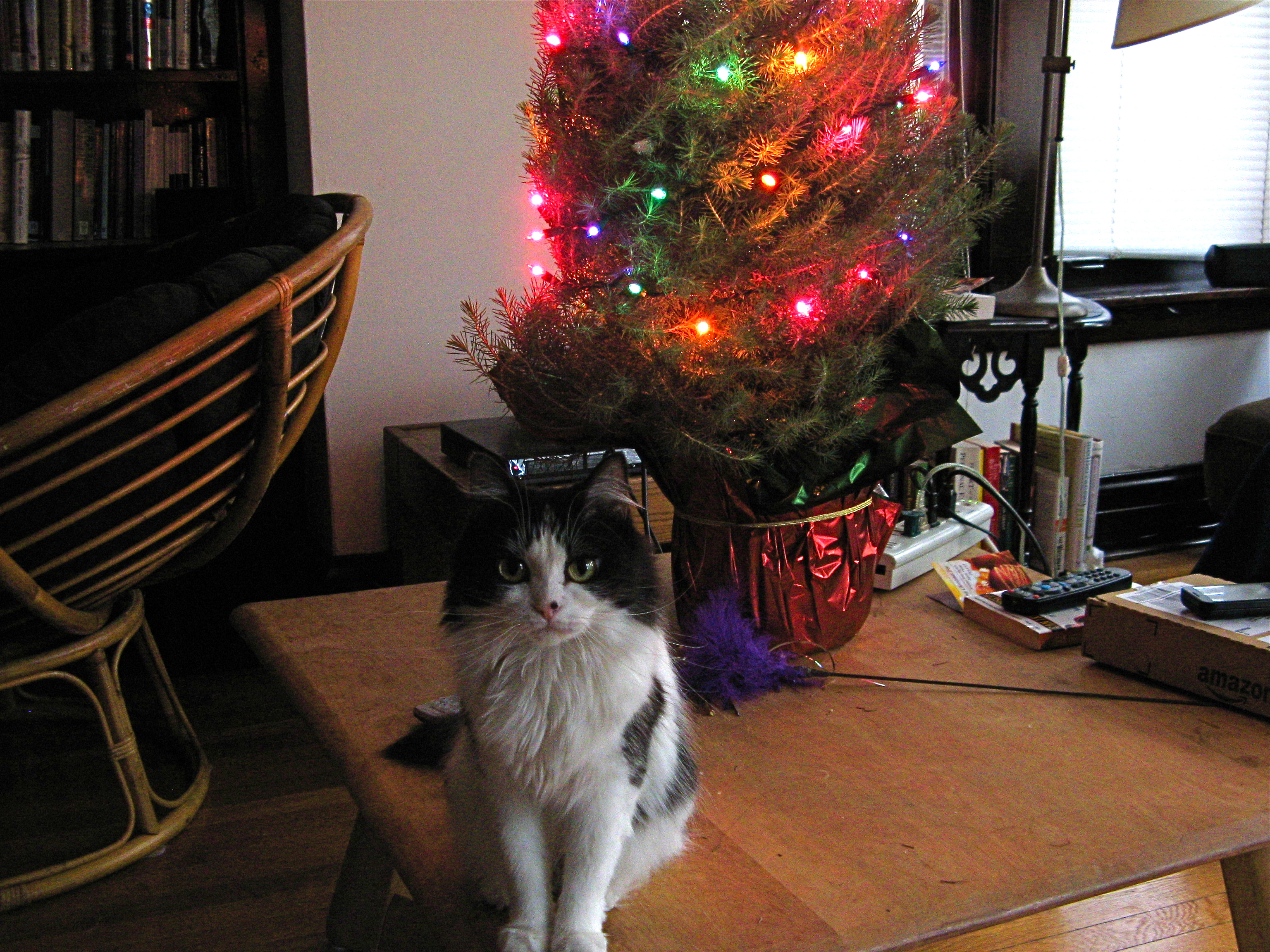 A smol black and white cat with a feather toy posing on a coffee table in front of a wee Christmas tree.