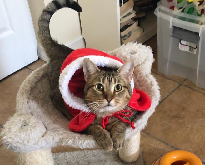 Daniel Jason Mendoza Striped Tiger in a Santa costume from my Mother-In-Law